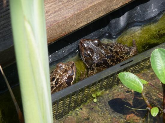 Les demoiselles de mon étang